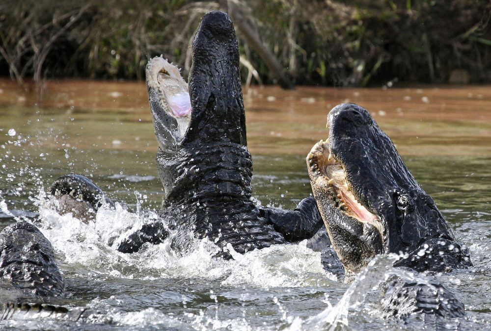 How do you drain the swamp when alligators are nipping  at your heels?